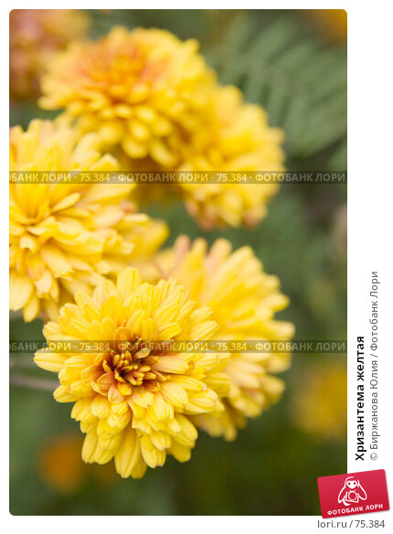 Хризантема желтая, фото № 75384, снято 19 августа 2007 г. (c) Биржанова Юлия / Фотобанк Лори