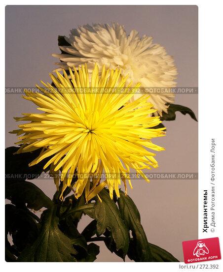 Хризантемы, фото № 272392, снято 3 мая 2008 г. (c) Дима Рогожин / Фотобанк Лори