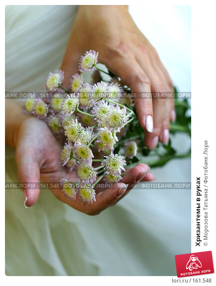 Хризантемы в руках, фото № 161548, снято 26 сентября 2006 г. (c) Морозова Татьяна / Фотобанк Лори