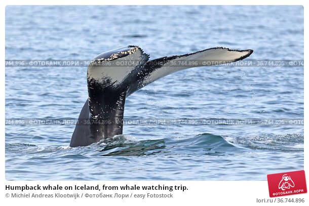 Humpback whale on Iceland, from whale watching trip. Стоковое фото, фотограф Michiel Andreas Klootwijk / easy Fotostock / Фотобанк Лори