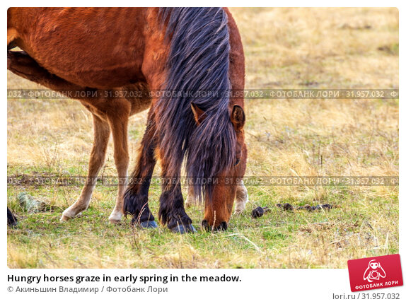 Купить «Hungry horses graze in early spring in the meadow.», фото № 31957032, снято 24 апреля 2019 г. (c) Акиньшин Владимир / Фотобанк Лори