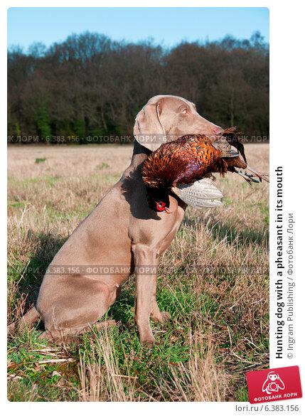 Купить «Hunting dog with a pheasant in its mouth», фото № 6383156, снято 23 февраля 2019 г. (c) Ingram Publishing / Фотобанк Лори