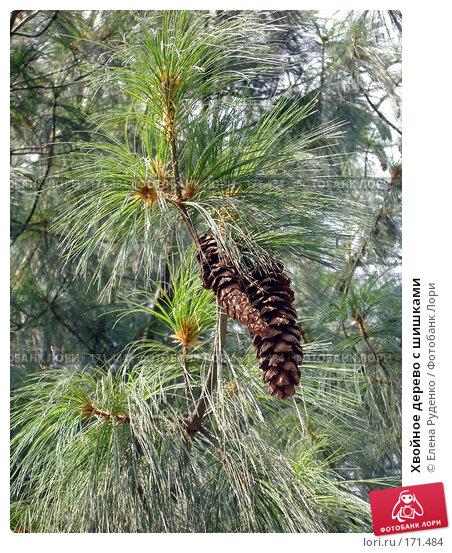 Купить «Хвойное дерево с шишками», фото № 171484, снято 23 сентября 2007 г. (c) Елена Руденко / Фотобанк Лори
