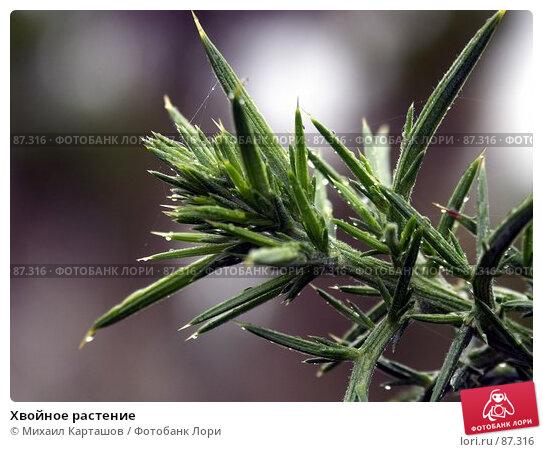 Хвойное растение, эксклюзивное фото № 87316, снято 8 августа 2007 г. (c) Михаил Карташов / Фотобанк Лори