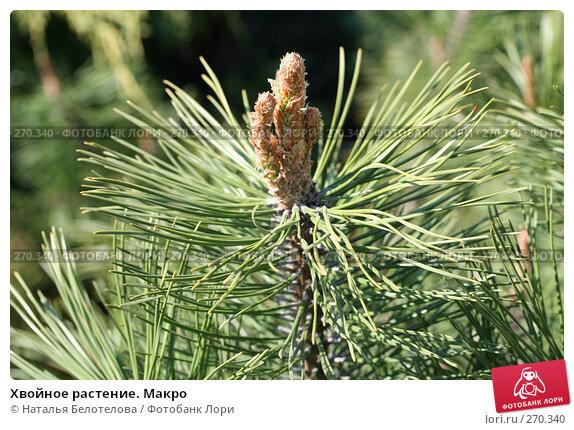 Хвойное растение. Макро, фото № 270340, снято 2 мая 2008 г. (c) Наталья Белотелова / Фотобанк Лори