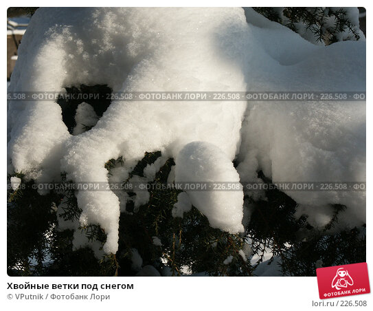 Хвойные ветки под снегом, фото № 226508, снято 8 февраля 2007 г. (c) VPutnik / Фотобанк Лори