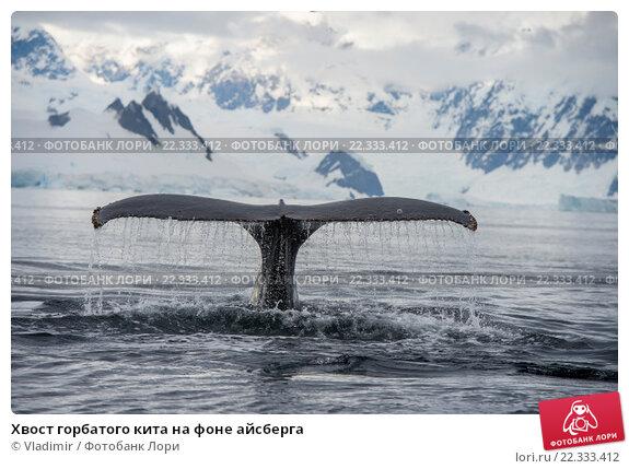 Купить «Хвост горбатого кита на фоне айсберга», фото № 22333412, снято 9 марта 2016 г. (c) Vladimir / Фотобанк Лори