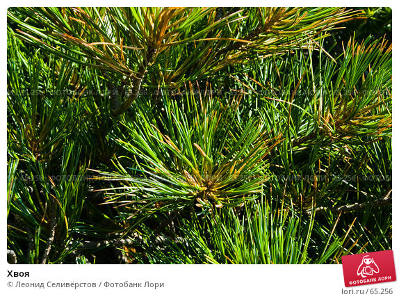 Хвоя, фото № 65256, снято 22 июля 2007 г. (c) Леонид Селивёрстов / Фотобанк Лори