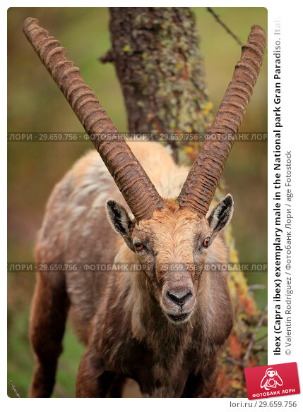 Купить «Ibex (Capra ibex) exemplary male in the National park Gran Paradiso. Italy.», фото № 29659756, снято 12 июня 2018 г. (c) age Fotostock / Фотобанк Лори