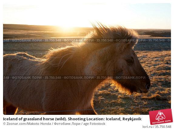 Iceland of grassland horse (wild). Shooting Location: Iceland, Reykjavik. Стоковое фото, фотограф Zoonar.com/Makoto Honda / age Fotostock / Фотобанк Лори