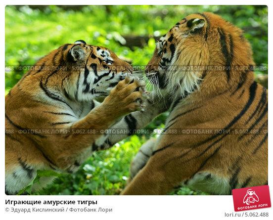 Купить «Играющие амурские тигры», фото № 5062488, снято 16 сентября 2012 г. (c) Эдуард Кислинский / Фотобанк Лори