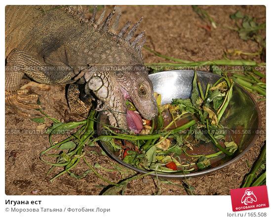 Игуана ест, фото № 165508, снято 23 октября 2007 г. (c) Морозова Татьяна / Фотобанк Лори