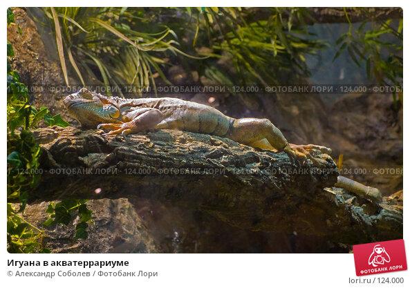 Купить «Игуана в акватеррариуме», фото № 124000, снято 25 августа 2007 г. (c) Александр Соболев / Фотобанк Лори