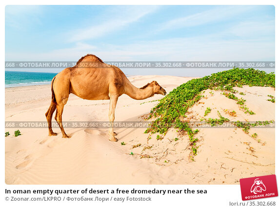 In oman empty quarter of desert a free dromedary near the sea. Стоковое фото, фотограф Zoonar.com/LKPRO / easy Fotostock / Фотобанк Лори