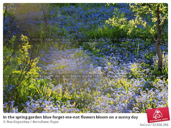 Купить «In the spring garden blue forget-me-not flowers bloom on a sunny day», фото № 33836356, снято 19 мая 2020 г. (c) Яна Королёва / Фотобанк Лори
