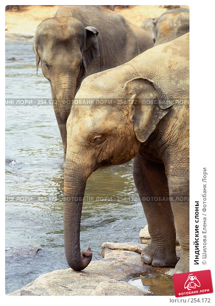 Индийские слоны, фото № 254172, снято 3 декабря 2016 г. (c) Шилова Елена / Фотобанк Лори