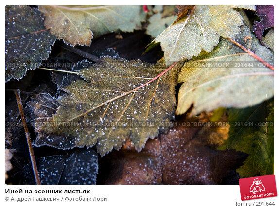 Купить «Иней на осенних листьях», фото № 291644, снято 19 апреля 2018 г. (c) Андрей Пашкевич / Фотобанк Лори