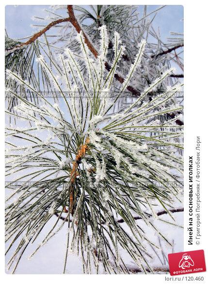 Иней на сосновых иголках, фото № 120460, снято 12 ноября 2007 г. (c) Григорий Погребняк / Фотобанк Лори