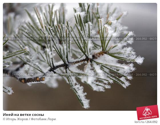 Купить «Иней на ветке сосны», фото № 264092, снято 16 февраля 2008 г. (c) Игорь Жоров / Фотобанк Лори