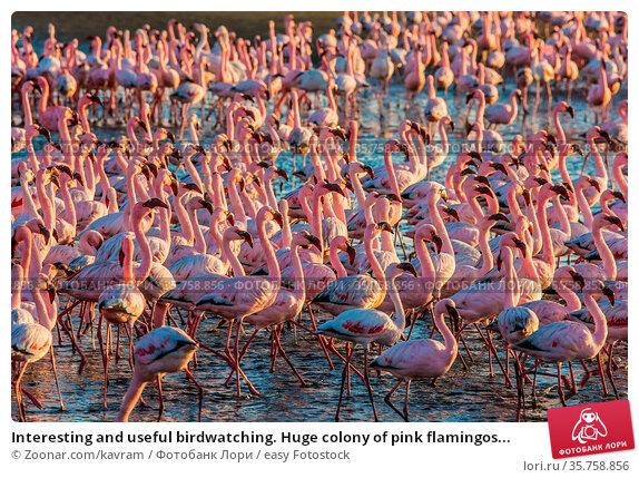 Interesting and useful birdwatching. Huge colony of pink flamingos... Стоковое фото, фотограф Zoonar.com/kavram / easy Fotostock / Фотобанк Лори