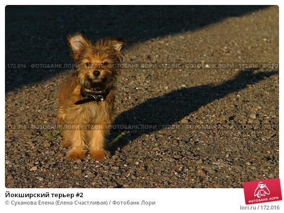 Йокширский терьер #2, фото № 172016, снято 23 июля 2006 г. (c) Суханова Елена (Елена Счастливая) / Фотобанк Лори