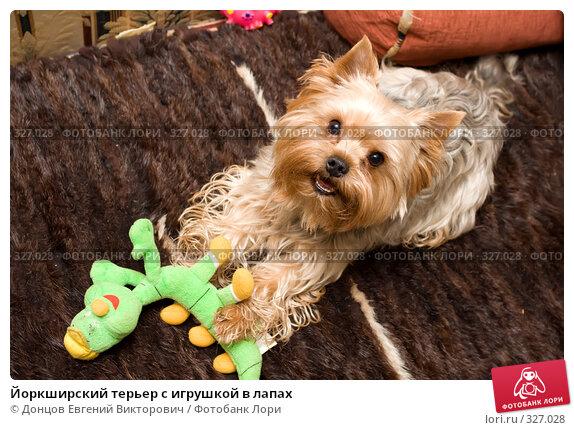 Йоркширский терьер с игрушкой в лапах, фото № 327028, снято 23 февраля 2008 г. (c) Донцов Евгений Викторович / Фотобанк Лори