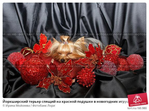 Купить «Йоркширский терьер спящий на красной подушке в новогодних игрушках», фото № 60980, снято 24 октября 2006 г. (c) Ирина Мойсеева / Фотобанк Лори
