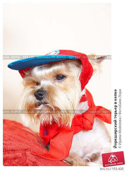 Йоркширский терьер в кепке, фото № 153420, снято 30 июня 2007 г. (c) Ирина Мойсеева / Фотобанк Лори