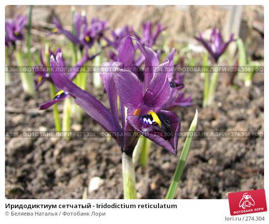 Иридодиктиум сетчатый - Iridodictium reticulatum, фото № 274304, снято 5 мая 2007 г. (c) Беляева Наталья / Фотобанк Лори