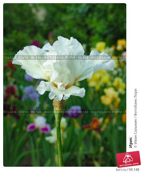 Купить «Ирис», фото № 99148, снято 23 мая 2005 г. (c) Иван Сазыкин / Фотобанк Лори