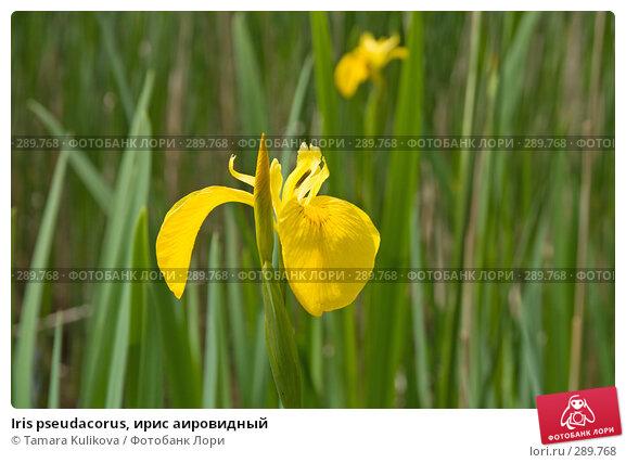 Iris pseudacorus, ирис аировидный, фото № 289768, снято 18 мая 2008 г. (c) Tamara Kulikova / Фотобанк Лори