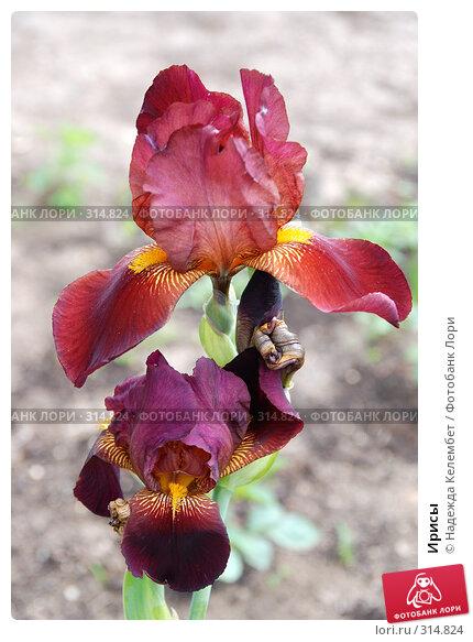 Ирисы, фото № 314824, снято 10 июня 2007 г. (c) Надежда Келембет / Фотобанк Лори