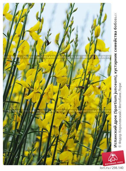 Испанский дрок (Spartium junceum), кустарник семейства бобовых, фото № 298140, снято 24 мая 2008 г. (c) Федор Королевский / Фотобанк Лори