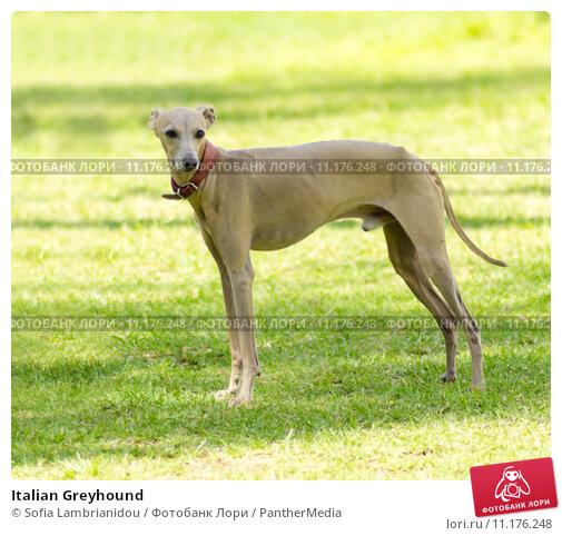 Купить «Italian Greyhound», фото № 11176248, снято 16 сентября 2019 г. (c) PantherMedia / Фотобанк Лори
