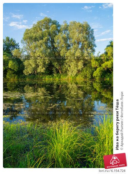 Ива на берегу реки Тёша. Стоковое фото, фотограф Аркадий Рыпин / Фотобанк Лори