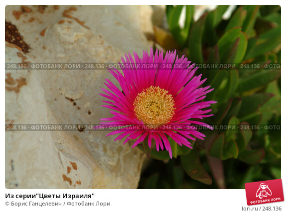 "Из серии""Цветы Израиля"", фото № 248136, снято 27 апреля 2007 г. (c) Борис Ганцелевич / Фотобанк Лори"