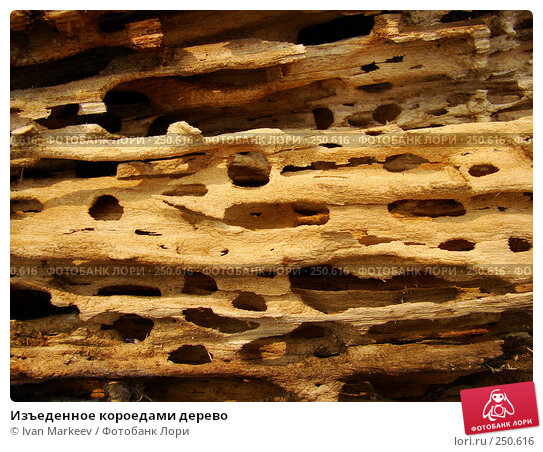 Изъеденное короедами дерево, фото № 250616, снято 21 февраля 2017 г. (c) Василий Каргандюм / Фотобанк Лори