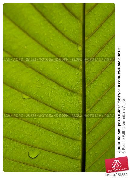Изнанка мокрого листа фикуса в солнечном свете, фото № 28332, снято 15 апреля 2007 г. (c) Eleanor Wilks / Фотобанк Лори
