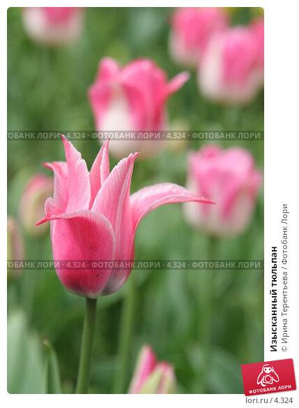 Изысканный тюльпан, эксклюзивное фото № 4324, снято 29 мая 2006 г. (c) Ирина Терентьева / Фотобанк Лори