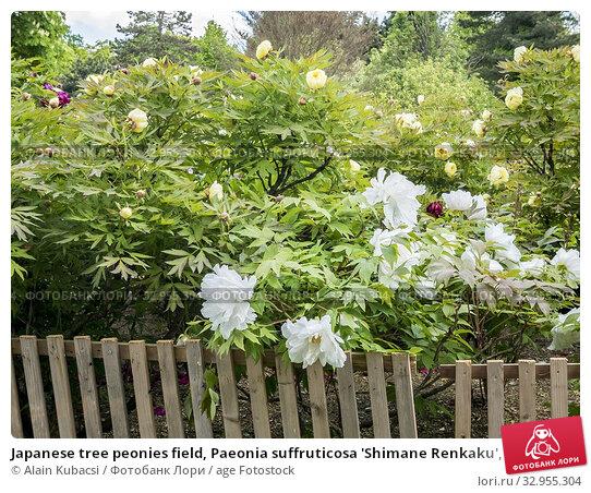 Japanese tree peonies field, Paeonia suffruticosa 'Shimane Renkaku', Paeonia lutea 'High Noon'. Стоковое фото, фотограф Alain Kubacsi / age Fotostock / Фотобанк Лори