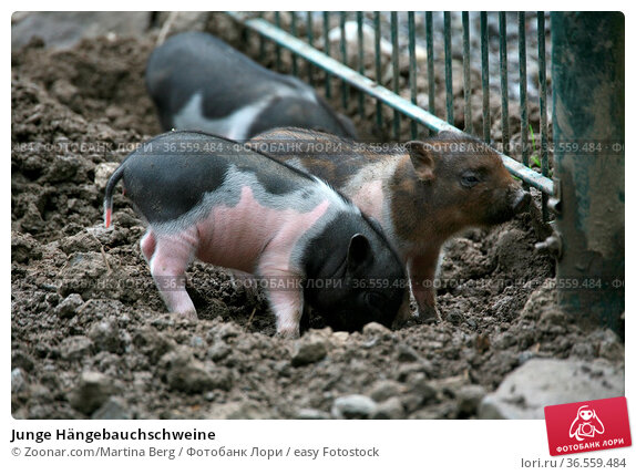 Junge Hängebauchschweine. Стоковое фото, фотограф Zoonar.com/Martina Berg / easy Fotostock / Фотобанк Лори