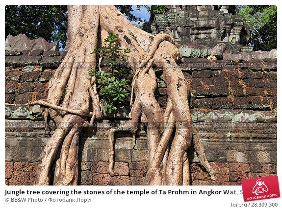 Купить «Jungle tree covering the stones of the temple of Ta Prohm in Angkor Wat, Siem Reap, Cambodia», фото № 28309300, снято 26 апреля 2018 г. (c) BE&W Photo / Фотобанк Лори