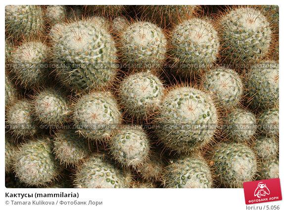 Кактусы (mammilaria), фото № 5056, снято 1 июля 2006 г. (c) Tamara Kulikova / Фотобанк Лори