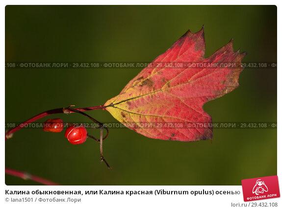 Купить «Калина обыкновенная, или Калина красная (Viburnum opulus) осенью», эксклюзивное фото № 29432108, снято 6 ноября 2018 г. (c) lana1501 / Фотобанк Лори