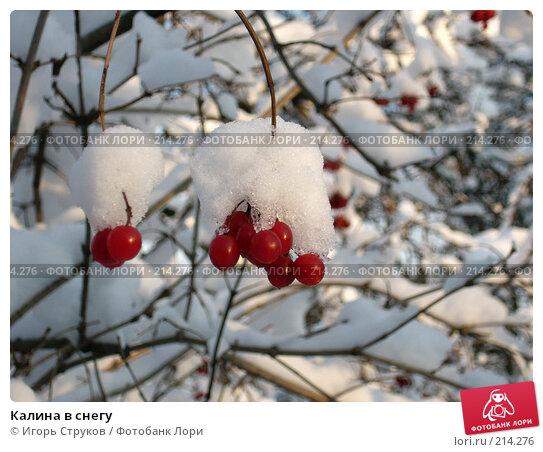 Калина в снегу, фото № 214276, снято 25 июля 2017 г. (c) Игорь Струков / Фотобанк Лори