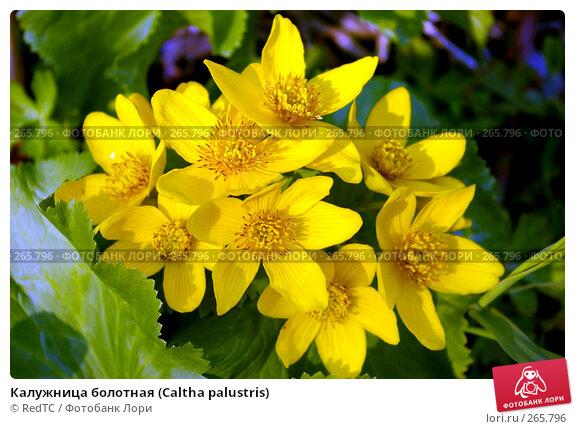 Калужница болотная (Caltha palustris), фото № 265796, снято 29 апреля 2008 г. (c) RedTC / Фотобанк Лори