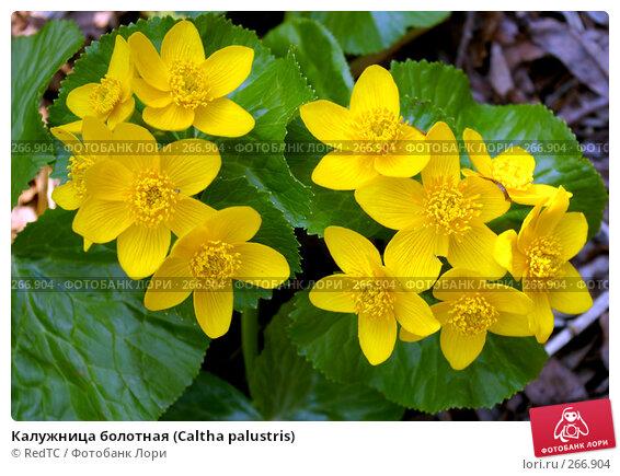Калужница болотная (Caltha palustris), фото № 266904, снято 29 апреля 2008 г. (c) RedTC / Фотобанк Лори