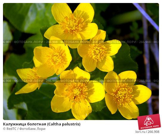 Калужница болотная (Caltha palustris), фото № 266908, снято 29 апреля 2008 г. (c) RedTC / Фотобанк Лори