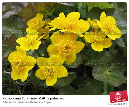 Калужница болотная - Caltha palustris, фото № 286972, снято 19 мая 2007 г. (c) Беляева Наталья / Фотобанк Лори