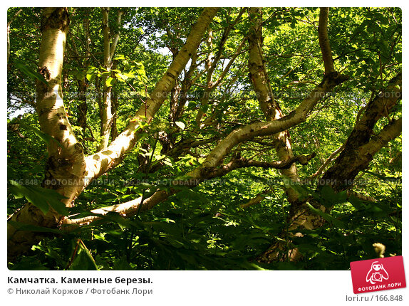Камчатка. Каменные березы., фото № 166848, снято 1 августа 2007 г. (c) Николай Коржов / Фотобанк Лори
